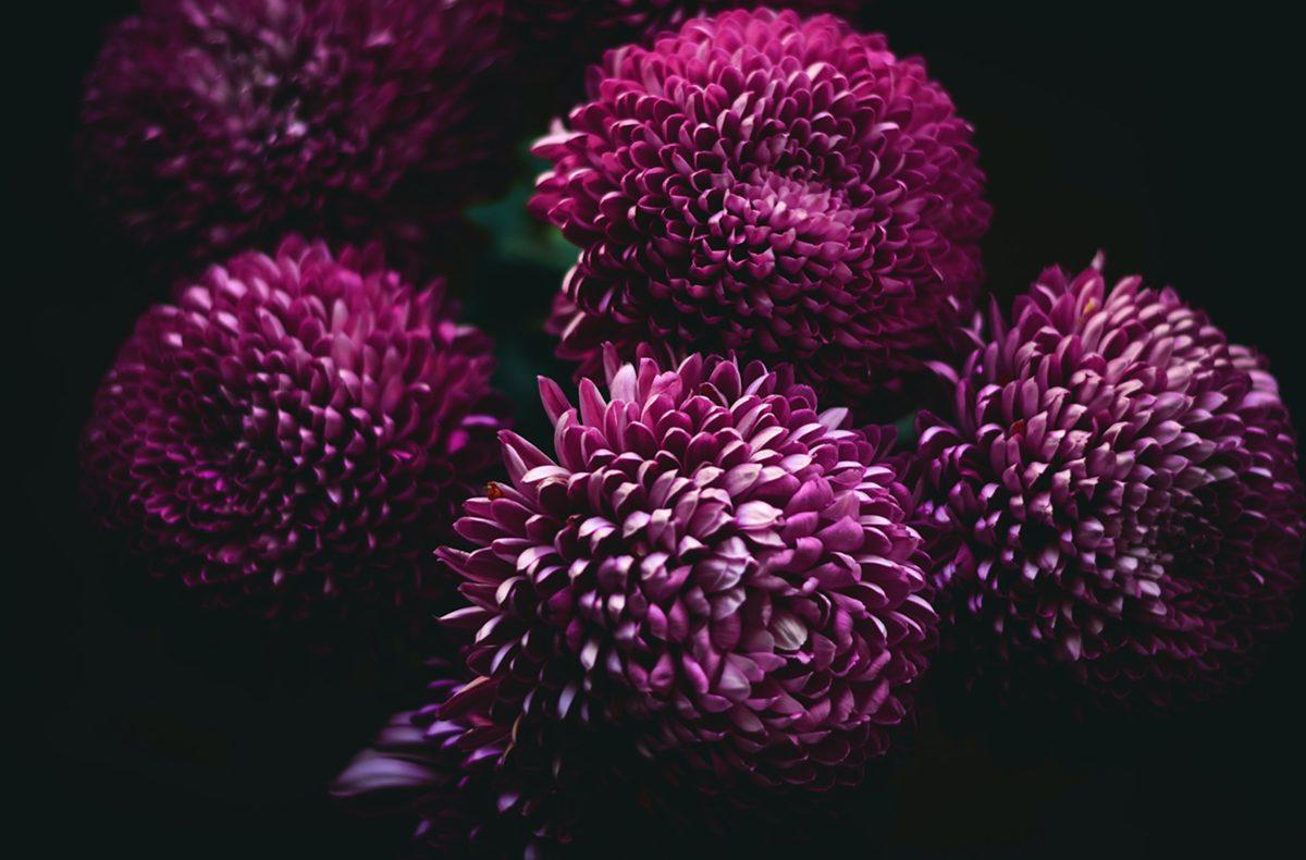 Posvátné chryzantémy: Co dělat, aby vám kvetly až do zimy?